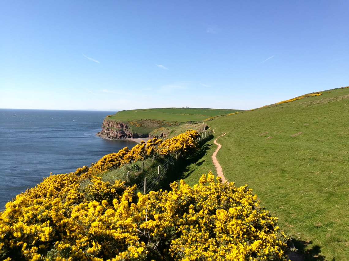 View over Fleswick Bay toward St Bees North Head with gorse in the foreground