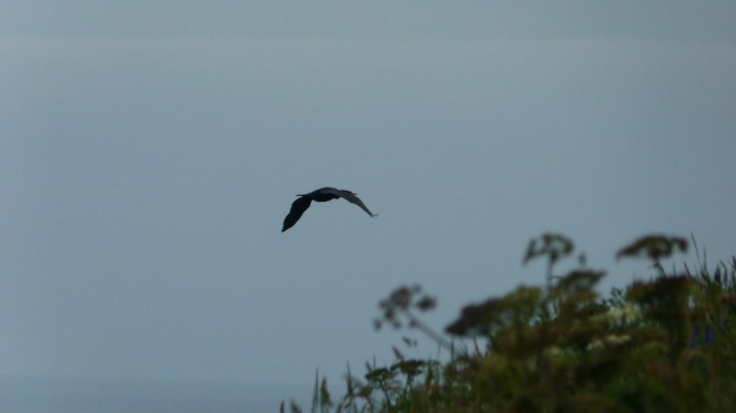 Cormarant in flight, Colourful Coast, Cumbria
