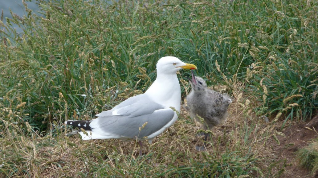 Herring gull and chick, Colourful Coast, Whitehaven