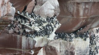 Seabirds nesting on the cliffs at St Bees Head, Whitehaven