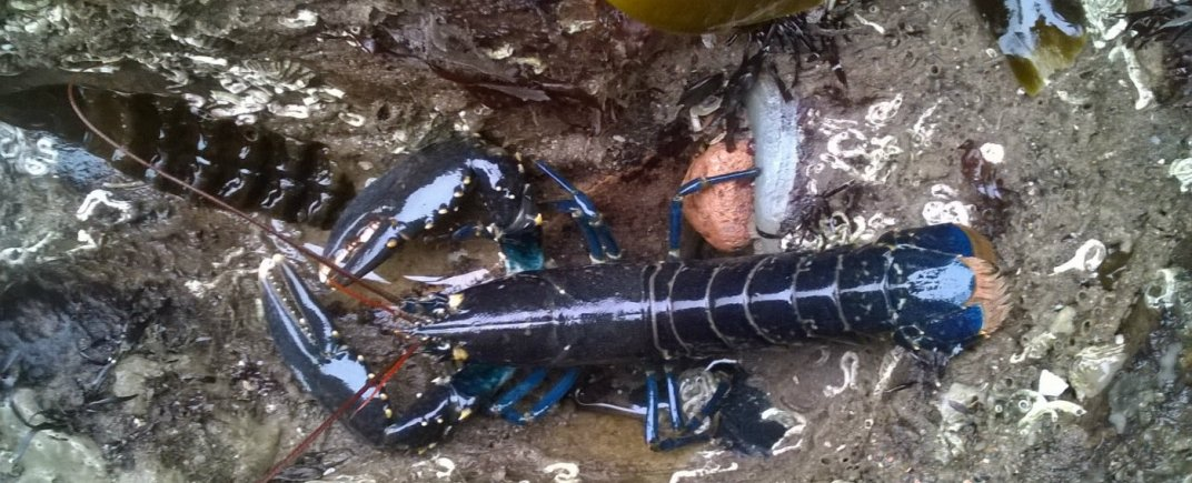 Lobster, Whitehaven, Cumbria