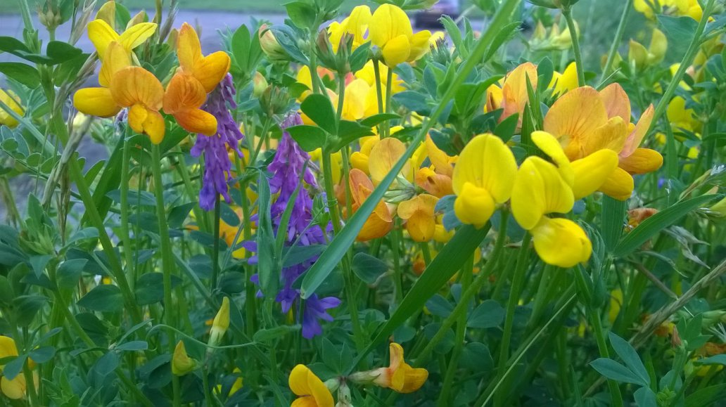 Trefoil and vetch in flower, Whitehaven, Cumbria