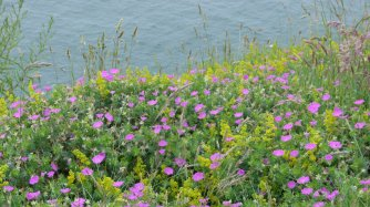 Wildflowers on the clifftops at Whitehaven, Cumbria