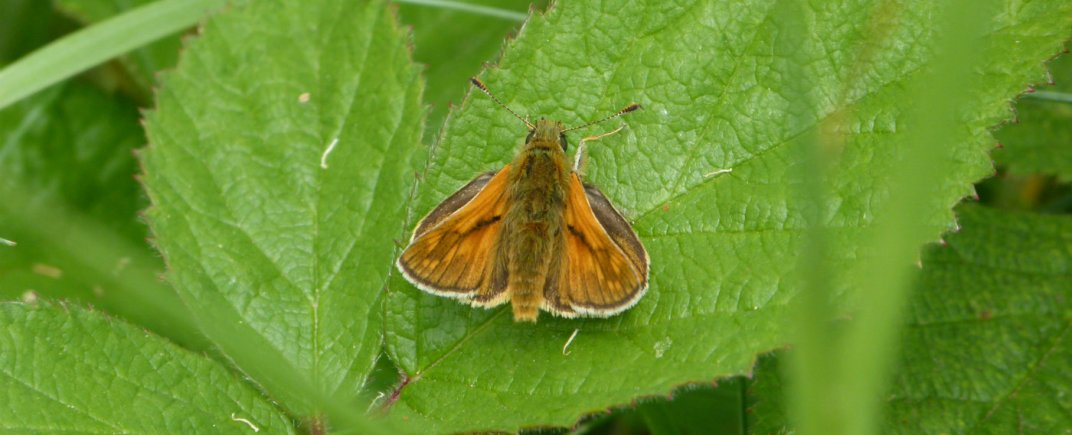 Small skipper butterfly, Whitehaven, Cumbria