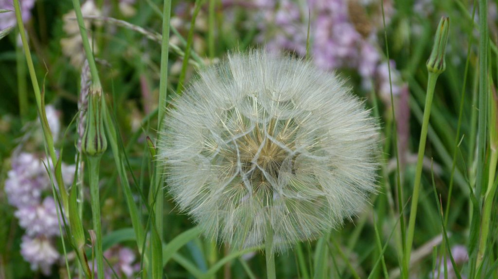 Goats beards seed head, Whitehaven, Cumbria