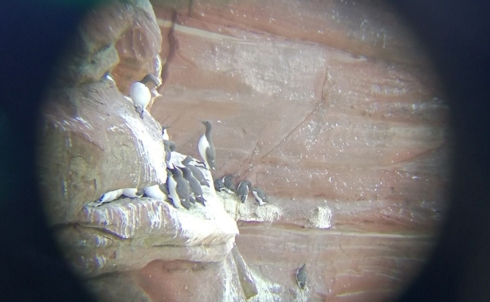 Auks on the cliffs at St Bees Head